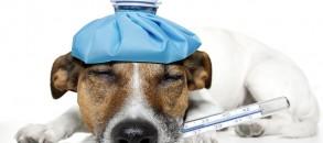 pancreatite-canina