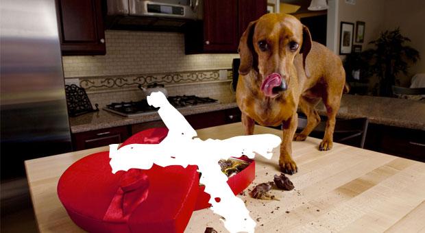 Nunca dê chocolate ao seu cachorro