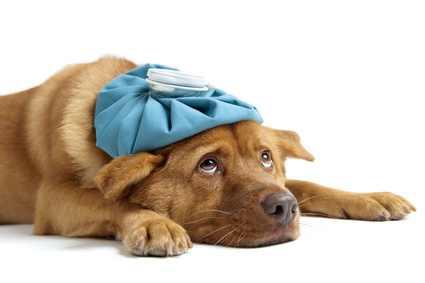 Cachorros com epilepsia podem levar uma vida normal