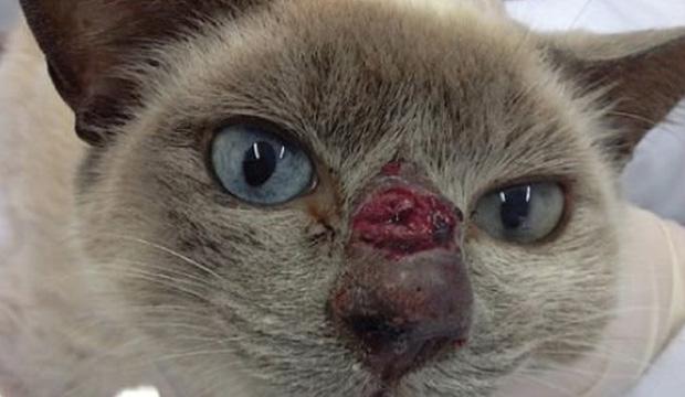a esporotricose zoonótica já é considerada uma hiperendemia na cidade do Rio de Janeiro