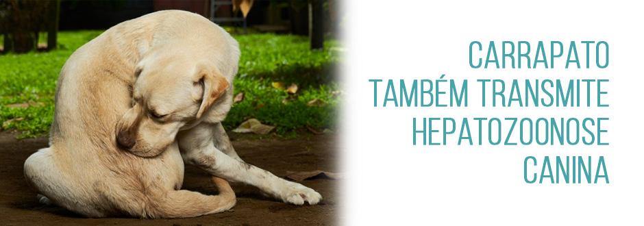 Carrapato também transmite hepatozoonose canina