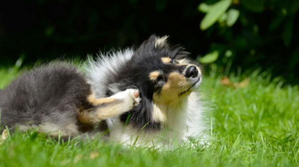 A hepatozoonose canina gera um grande incômodo para os pets