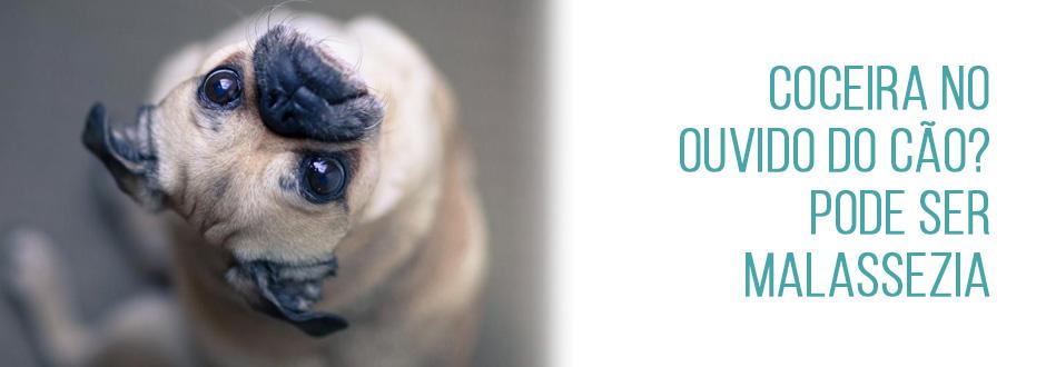 Coceira no ouvido do cão? Pode ser Malassezia